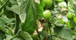Arılı dölleme ile domates yetiştiriciliğinde Gaziantep'te bir ilk