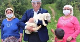 Büyükşehir üç ilçede kıl keçisi dağıtacak