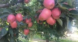 Beyşehir'de elma hasadına başlandı