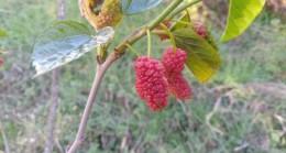 Kasım ayında dut ağacı meyve verdi, kiraz ağacı çiçek açtı