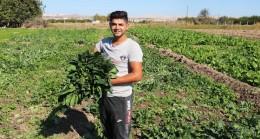 (Özel Haber) Şanlıurfa'da ıspanak hasadı başladı