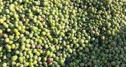Ünü dünyaya yayılan Derik zeytininin hasadı başladı